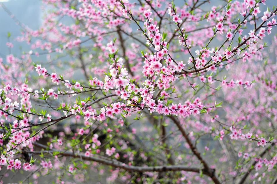 Du lịch Mộc Châu- Tà Xùa mùa xuân có gì hấp dẫn? - Vietmountain Travel 5