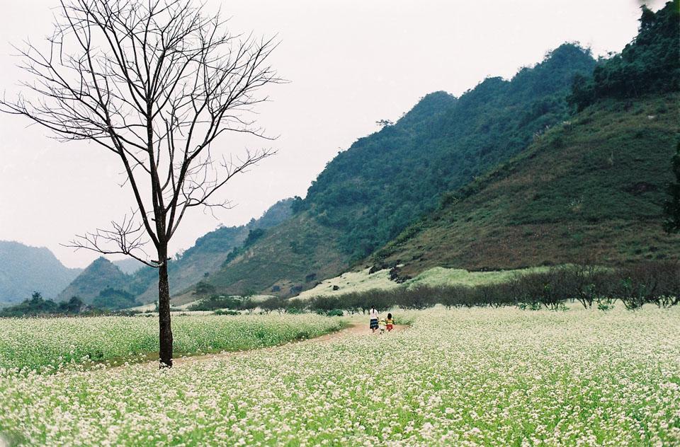 Mãn nhãn với cánh đồng hoa cải Bản Lùn nở trắng trời Mộc Châu - Vietmountain Travel 2