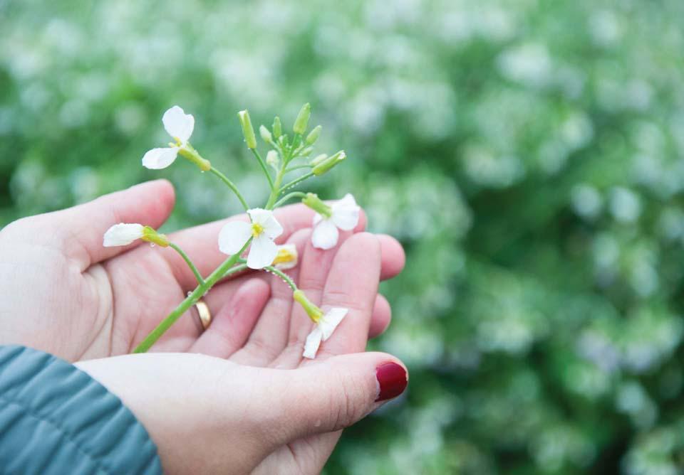Mãn nhãn với cánh đồng hoa cải Bản Lùn nở trắng trời Mộc Châu - Vietmountain Travel 7