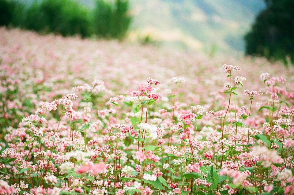 Hà Giang Tháng 10 - Chiêm Ngưỡng Vẻ Đẹp Như Trong Tranh 3