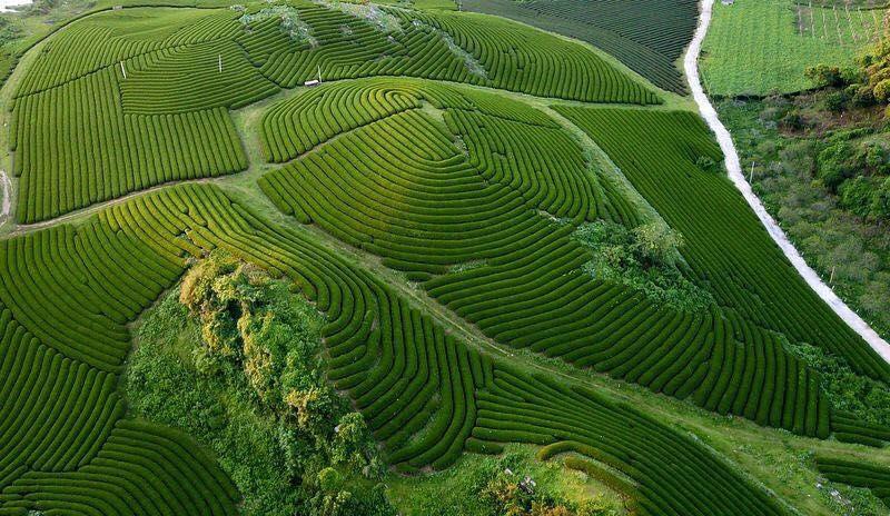 long-coc-doi-che-tien-canh-giua-vung-dat-to-vietmountain-travel3