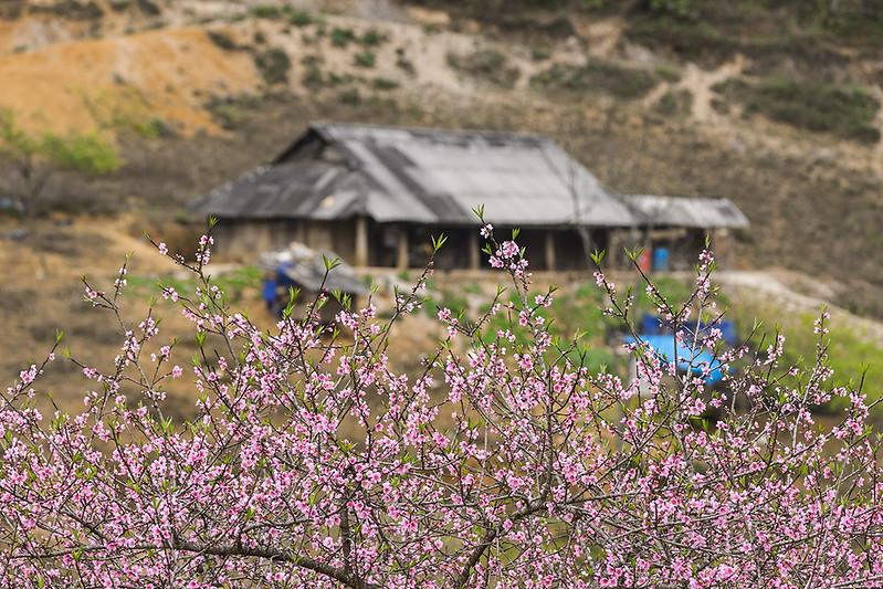 Xuan-ghe-dong-tay-bac-don-mua-le-hoi-vietmountain-travel1