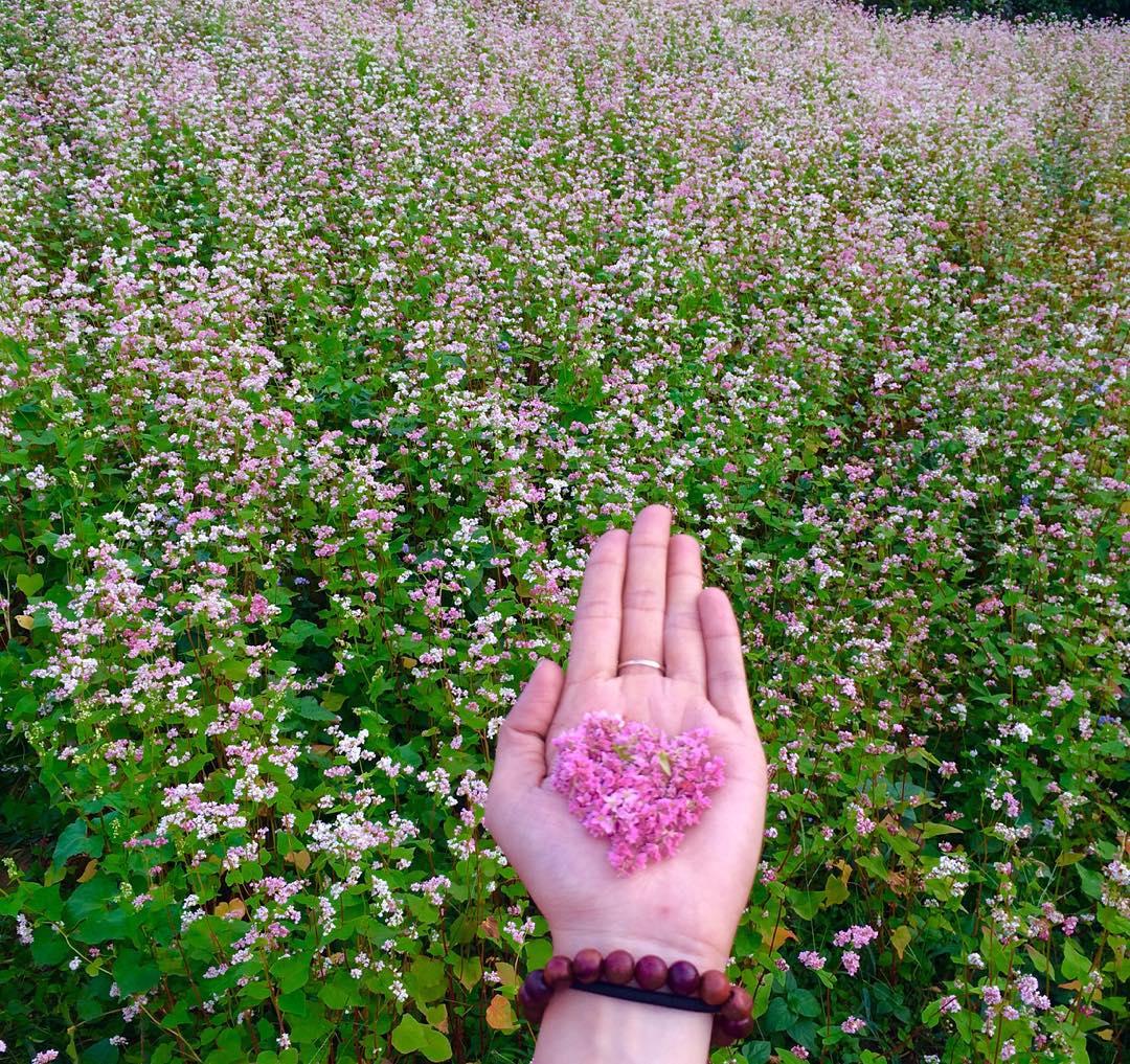 Chiêm Ngưỡng Vẻ Đẹp Mùa Hoa Tam Giác Mạch Miền Bắc 7